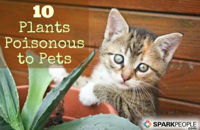 10 common house plants that are poisonous to pets sparkpeople - Toxic plants for dogs and cats the danger behind flowers ...